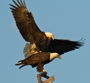 BALD EAGLES DOIN' IT!